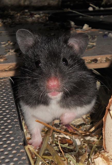 brauchen hamster auslauf